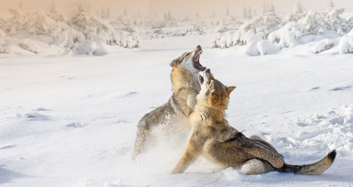 Modern Life is Like Two Wolves Fighting